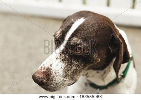 Adult male German Shorthaired Pointer looks ahead while sitting outside.