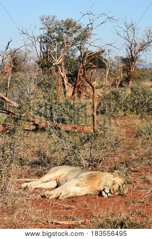 Picture of a sleeping lion in madikwe game reserve, South Africa.