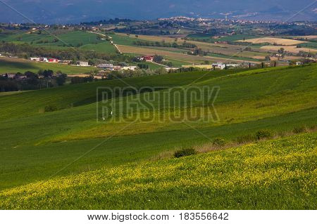 Yellow flowers in the rural area of Montefalco