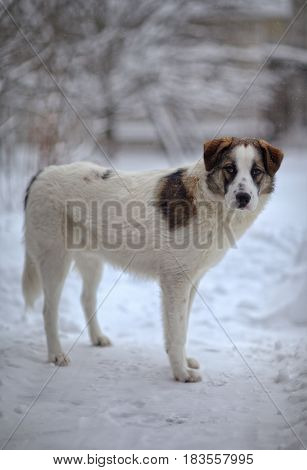 A sad dog stands in winter. A dog stands alone on the street. She has a sad look. She's an orphan.