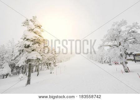 Tree covered with snow  on winter storm day in  forest mountains