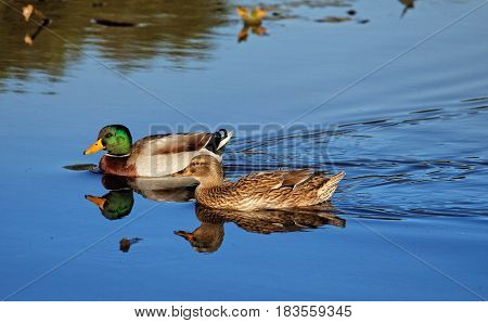 Beautiful blue water in the autumn river. Drake's quacking.