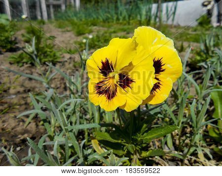 Fresh Garden Pansy And Daisy Flowers
