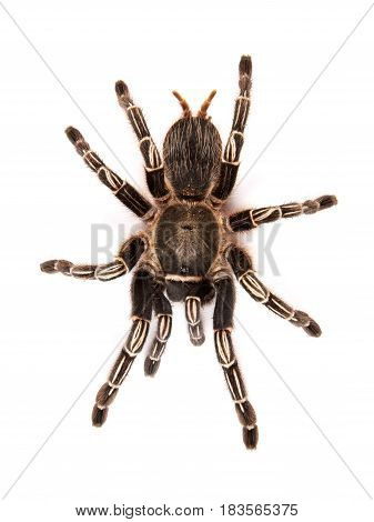 Costa Rican Zebra Tarantula also known as the Striped-knee Tarantula (Aphonopelma seemanni) this spider inhabits most of western Costa Rica