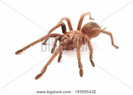 Hispaniolan Giant Tarantula (Phormictopus cancerides) young female