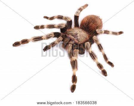 Tarantula spider female (Vitalius paranaensis) on a white background