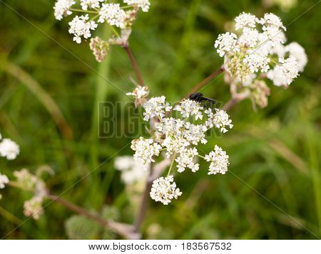A Black Fly Resting On Some Cow Parsley