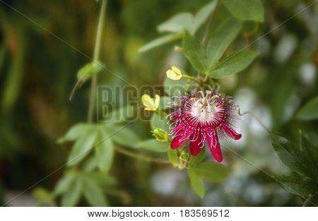 Varieties of Passiflora 'Lady Margaret' flower in the rainforest