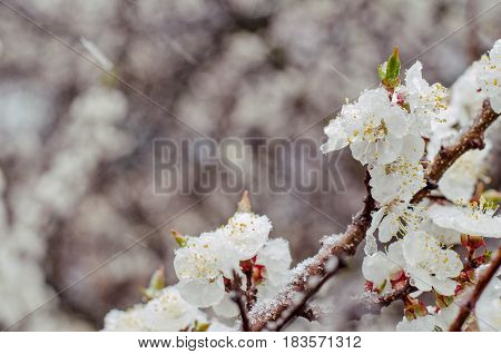 Tender Apricot Blossom Flowers Covered With Sudden April Snow Cy