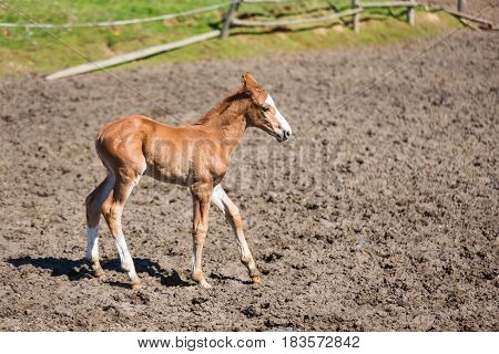 Cheerful young foal on the meadow in spring