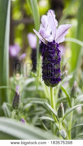 Spanish lavender blossom in focus with remainder of shrub in background