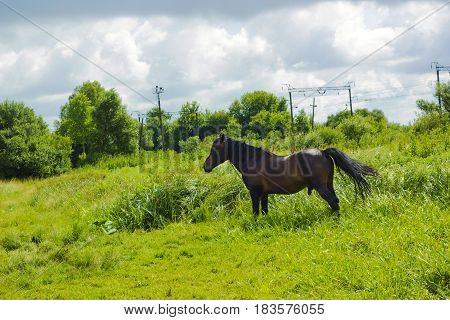 Dark brown horse standing in summer field. Scene of wildlife on pasture under cloudy blue sky. Wild horse walking on meadow silhouette