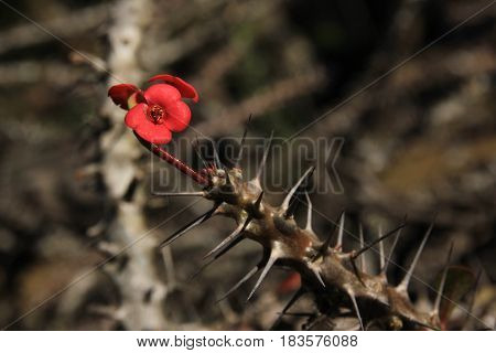 Thorny plant used as natural