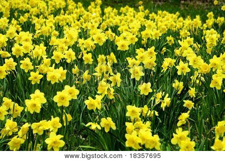 A field of Daffodils intentionally blurred for background