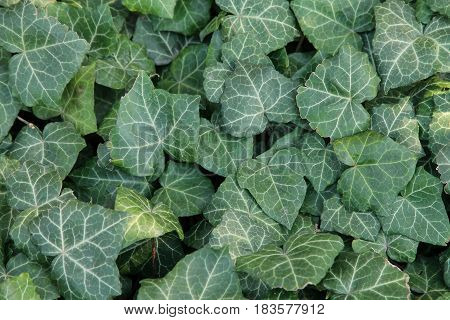 Green leaf texture. Foliage background. Thr Ivy.