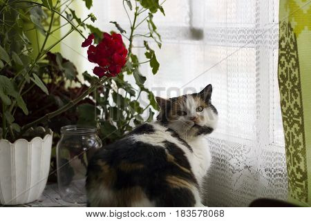 Beautiful calico cat sits near pot of red geraniums in window