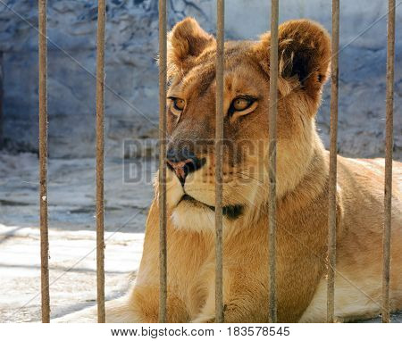 African lioness lying resting after feeding and looking at the camera