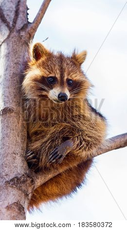 A reddish fur variety of Raccoon sitting in a tree watching the surroundings waiting to descend after danger has passed.