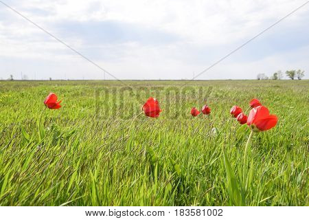 Tulips In A Wild Field. Red Flowers Among The Green Grass