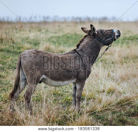 A lonely sad gray donkey, tied with a chain, stands in the field and looks up.