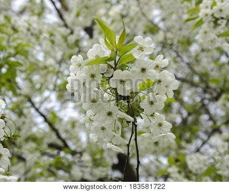 White delicate flowering branch of fruit bushes springy warm day in the garden