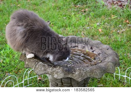 Cat bird in a bird bath getting a drink.