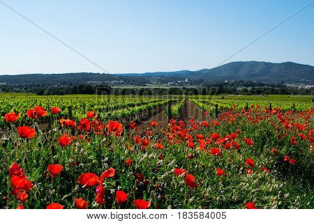 A flowering poppy field with vineyard in a background, Spain