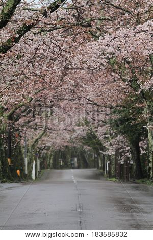 Tunnel Of Cherry Blossoms In Izu Highland, Shizuoka, Japan (rainy)