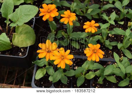 Garden marigold  flower seedlings growing at a nursery this Spring.