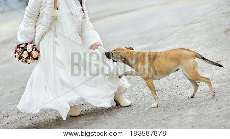 Street stray dog bites bride for a wedding dress.