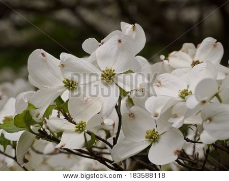 Pretty white dogwood flowers in the spring