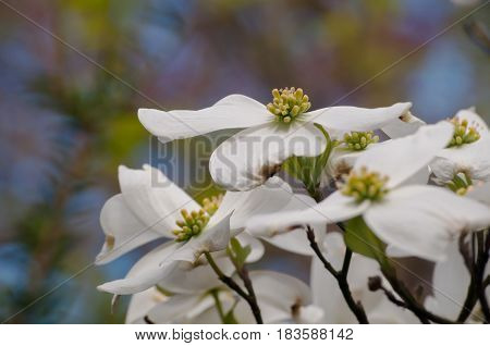 A group of white dogwood flowers with a blurred, pretty background