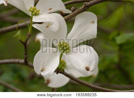 Single white dogwood flower laying within it's branches with a green background of leaves