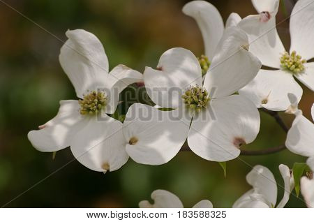 Several beautiful white dogwood flowers in sun and shadows