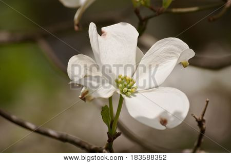 A lone dogwood flower with a blurred background
