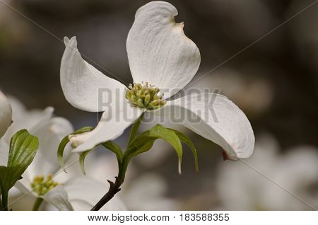 A single white dogwood flower with small green leaves