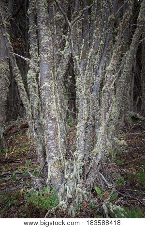 Patagonia's Trees Covered With Moss And Lichen, Tierra Del Fuego