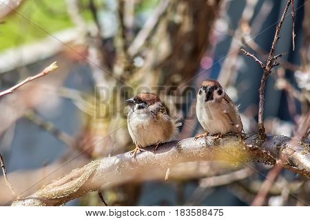 Two sparrows on blossoming branches of an apricot tree in spring garden on a windy day. Selective focus