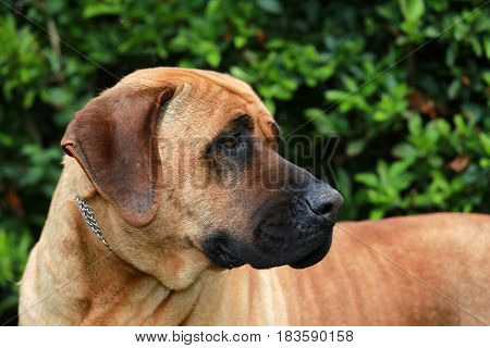 Tosa inu sheperd dog portrait against green natural background