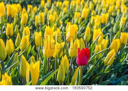 Closeup of a red flowering tulip bloom in flower bed with only yellow tulips at a specialized Dutch bulb grower. It is early in the morning on a sunny day in the beginning of the spring season in the Netherlands.