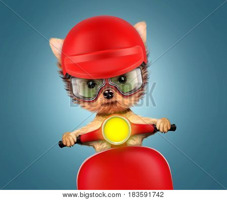 Funny adorable puppy sitting on a red motorbike and wearing helmet, isolated on white. Delivery concept. Realistic illustration of yorkshire terrier with clipping path