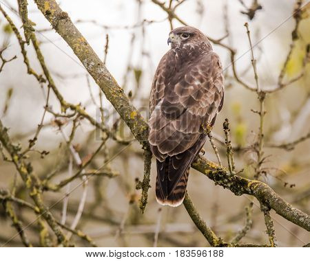 Buzzard (Buteo buteo) sitting in tree. Large bird of prey in Folly Farm nature reserve in Somerset UK