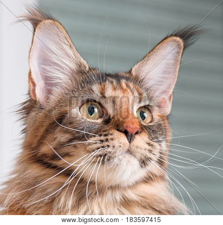 Portrait of domestic tortoiseshell Maine Coon kitten. Fluffy kitty in room at home. Close-up photo adorable curious young cat looking away.