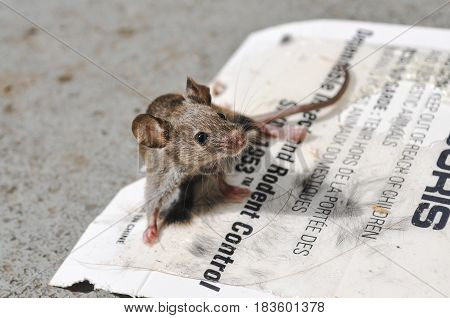 May 1 2017-Closeup baby mouse in a sticky pad mouse trap.