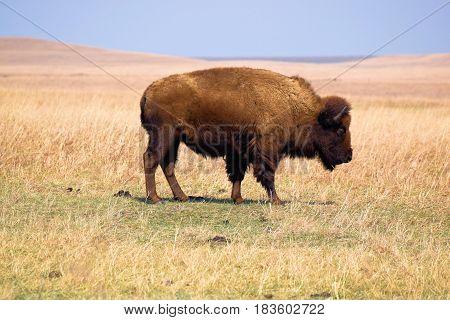 Buffalo roaming rural grasslands taken at the Tallgrass Prairie on the Kansas Plains