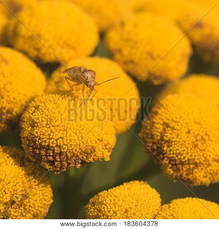 Macro of a lygus bug resting on a yellow tansy flower.