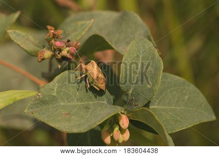 Side view of a large brown stink bug resting on a leaf.