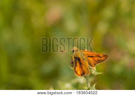Macro of a woodland skipper butterfly resting