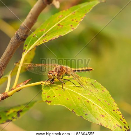 Macro of the predatory Cherry-faced Meadowhawk Dragonfly eating it prey while sitting on a leaf.
