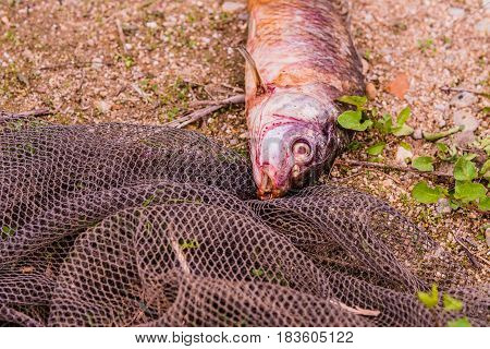 Carcass of dead fish laying on the ground next to a black fishing net.